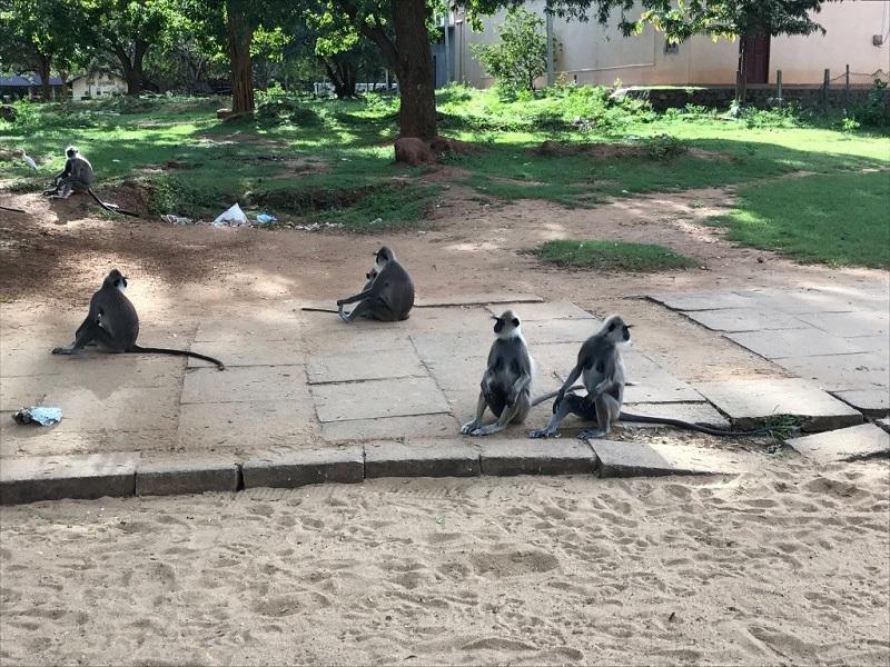 Катарагама обезьяны